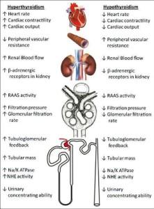 Thyroid Part II 1