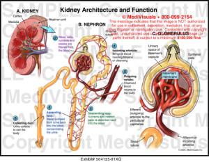 kidney 2