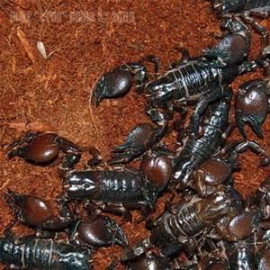 redclawscorpion1