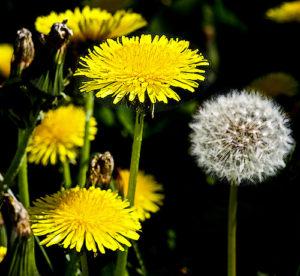 Plants (dandelion-Part III)