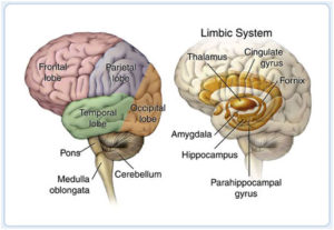 brain Lobe Regions